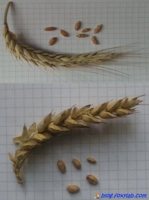 семена ржи и пшеницы