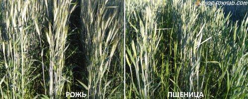 рожь и пшеница на даче