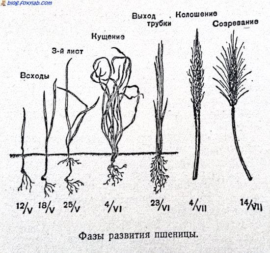 фазы пшеницы