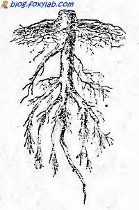 корень сосны
