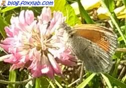 сенница памфил