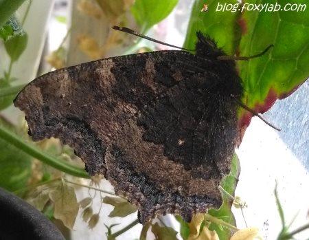 многоцветница черно-рыжая