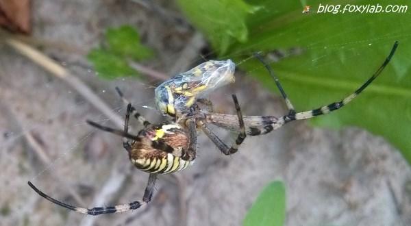 паук с добычей
